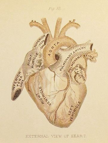 An antique image of a heart diagram depicting the names of the parts
