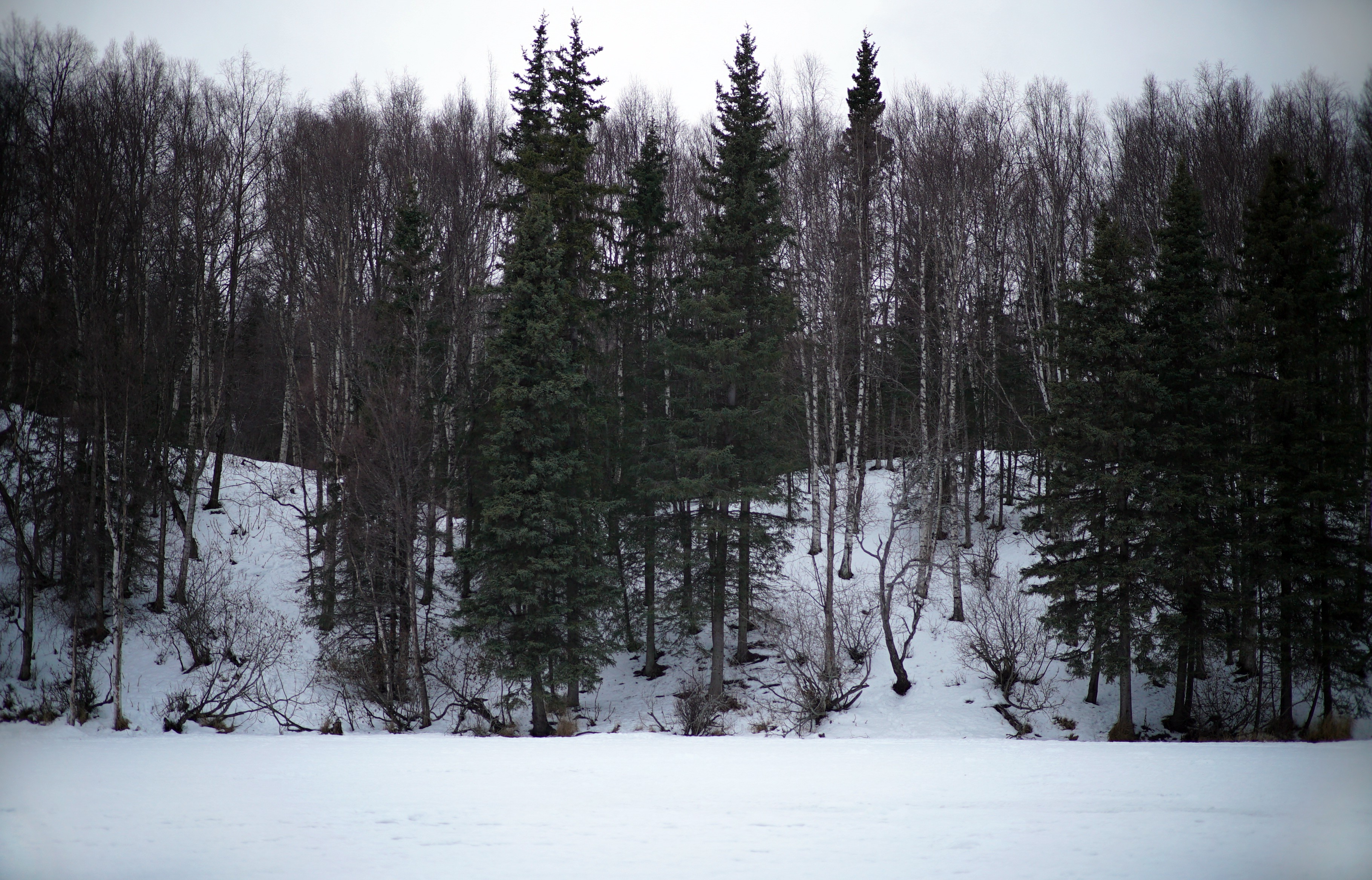 a shoreline of spruce and birch from a frozen lake