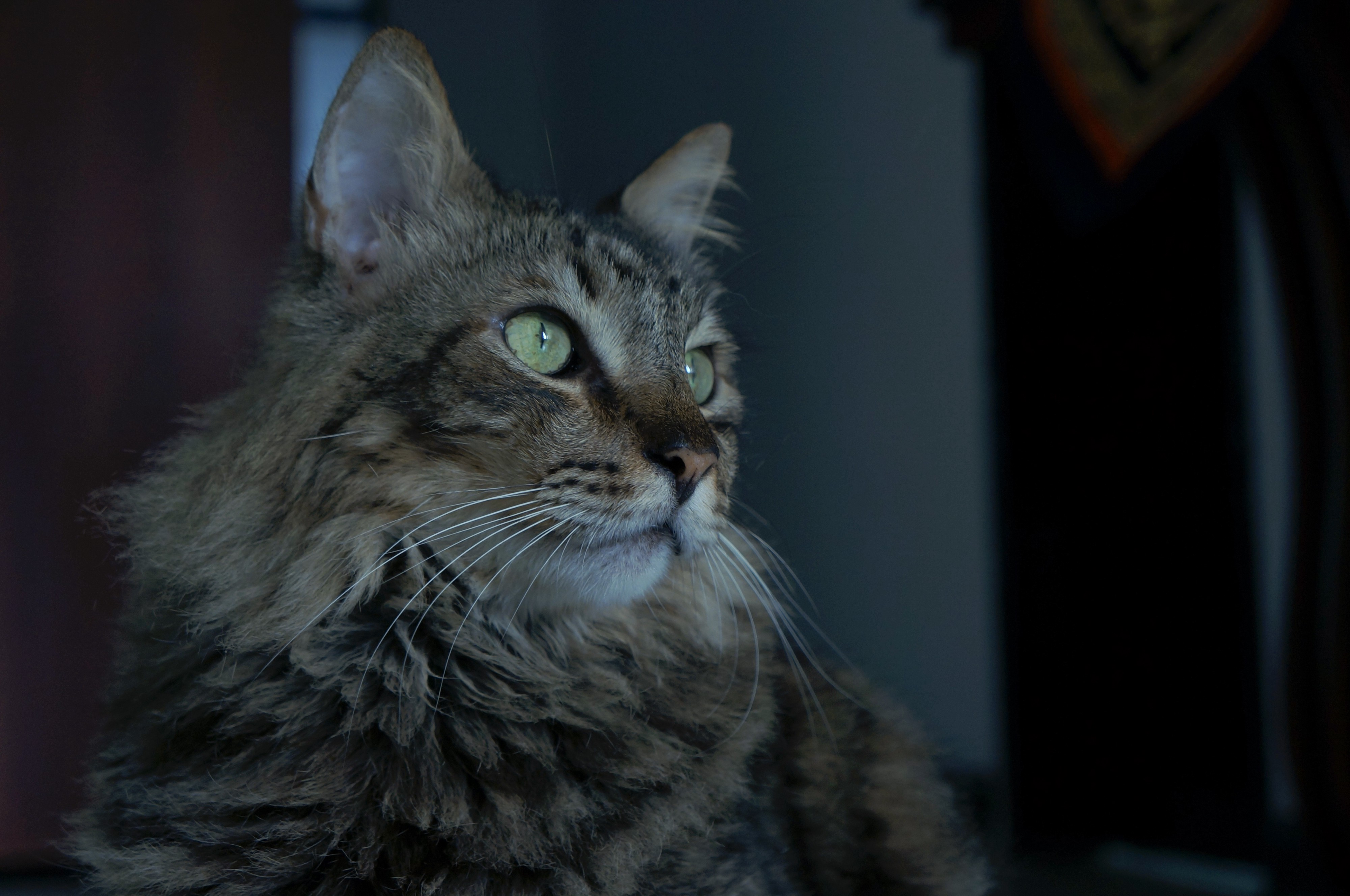 Main Coon Cat in 10 Things No One Told Me When I Adopted My Cat
