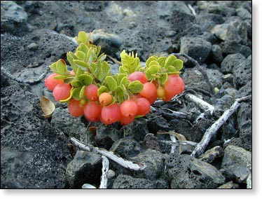 Ohelo berries are short shrubs with red berries that grow in lava and volcanic ash.