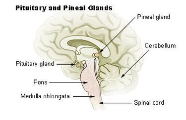 """Sagittal slice of brain with arrow pointing to """"pineal gland' in the center of the brain."""