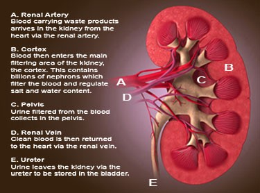 Kidney Damage In Poultry And How To Recover It By Anfotal Nutritions Medium