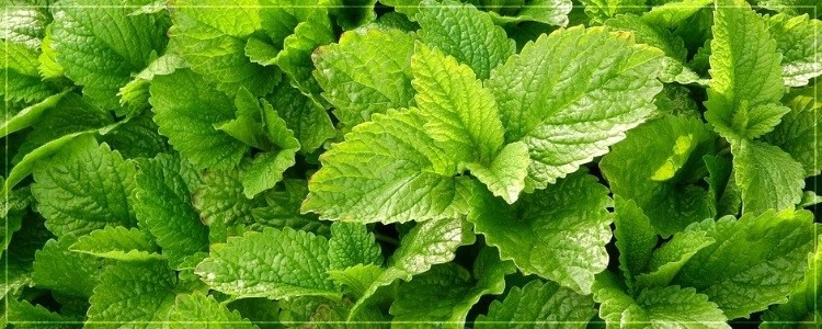 Mint : The ideal solution for smokers - Lagos Thomas - Medium