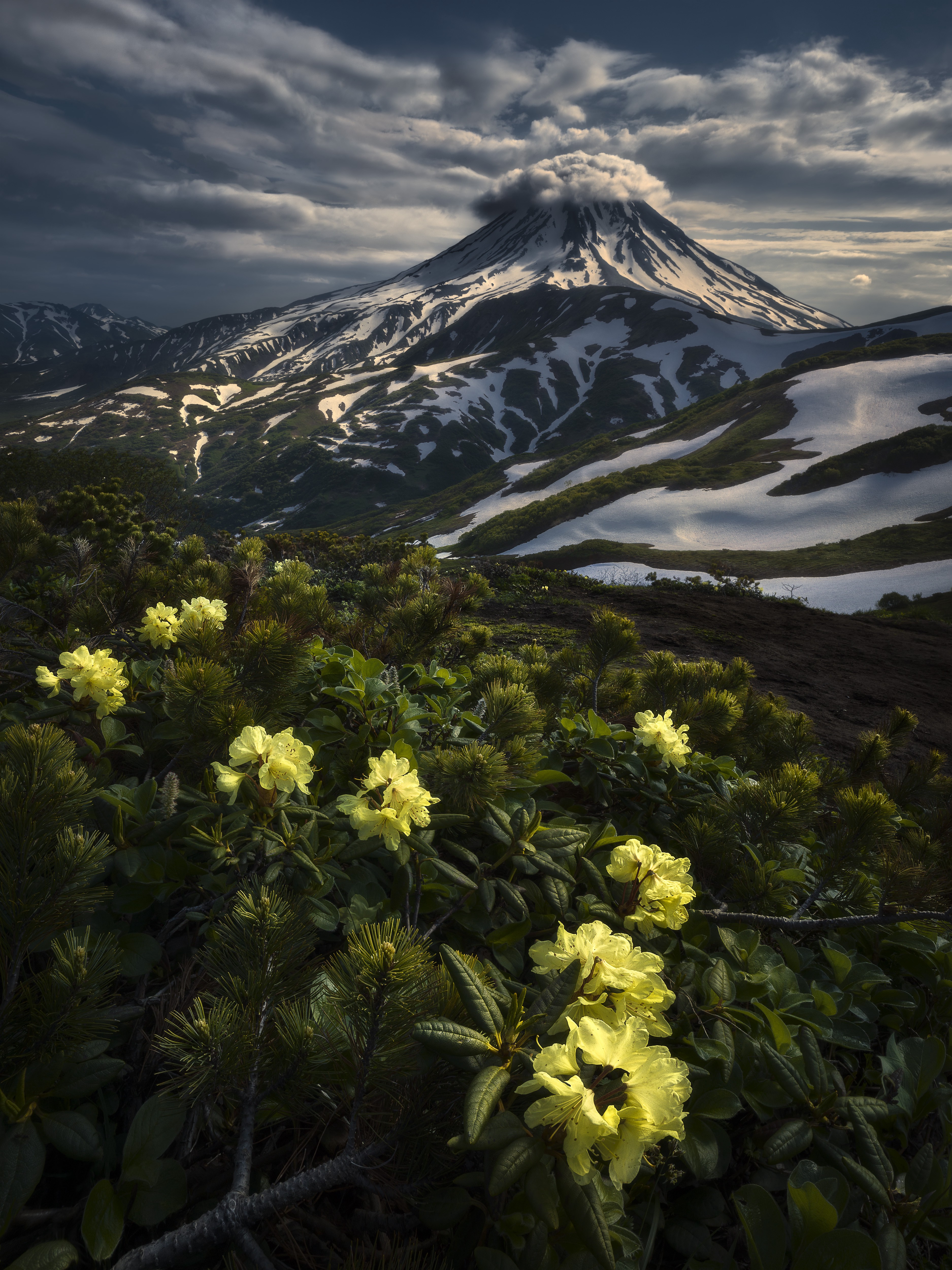 Yellow flowers in the foreground of a snowy mountain landscape