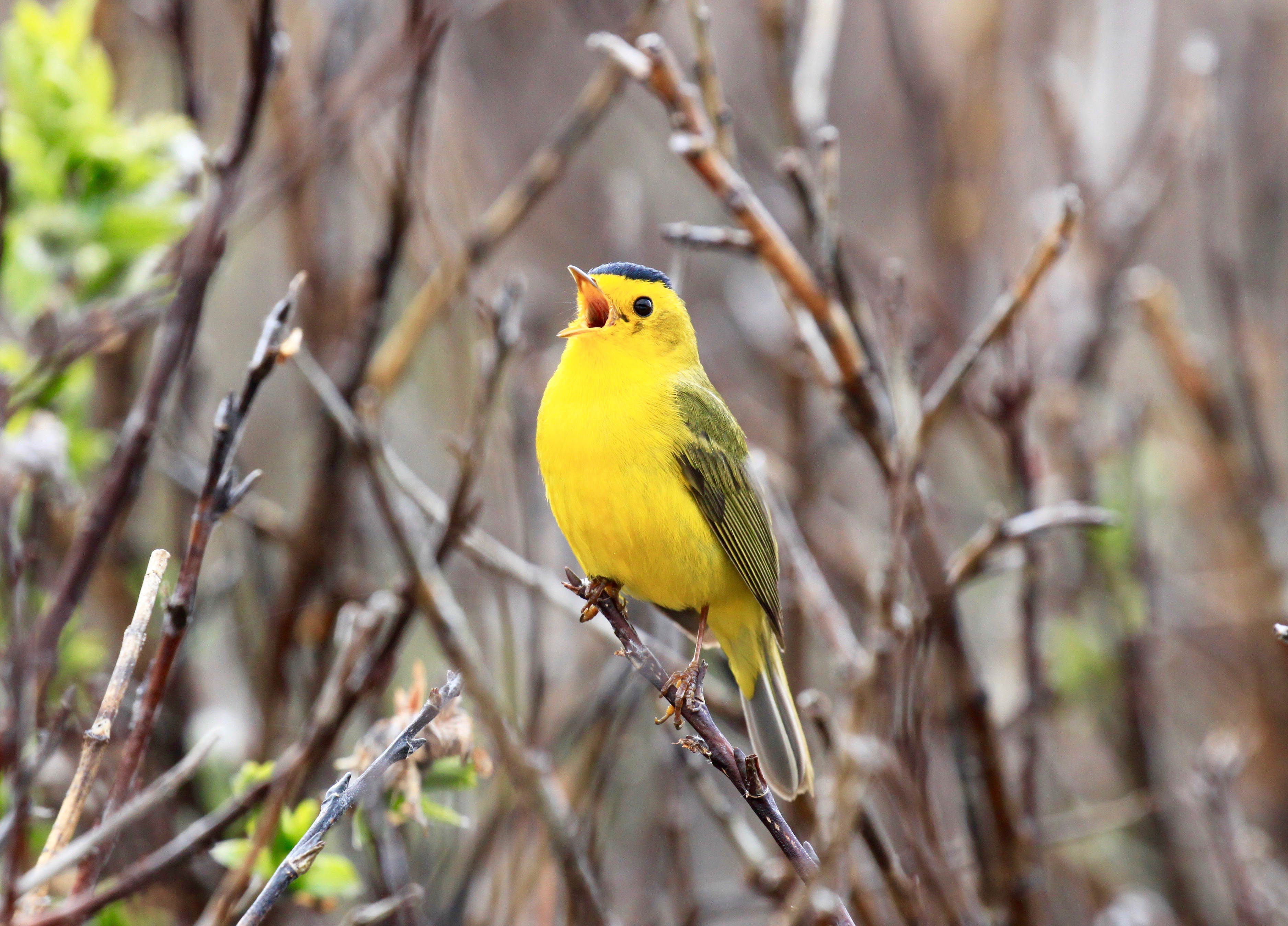 yellow wilson's warbler with a black cap singing in the bushes