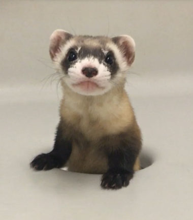 a black-footed ferret emerging from a hole in a white enclosure