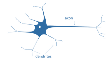 A biological neuron is a functional cell of the nervous system. It has dendrites that receive signals and an axon that transmits signals to another neuron