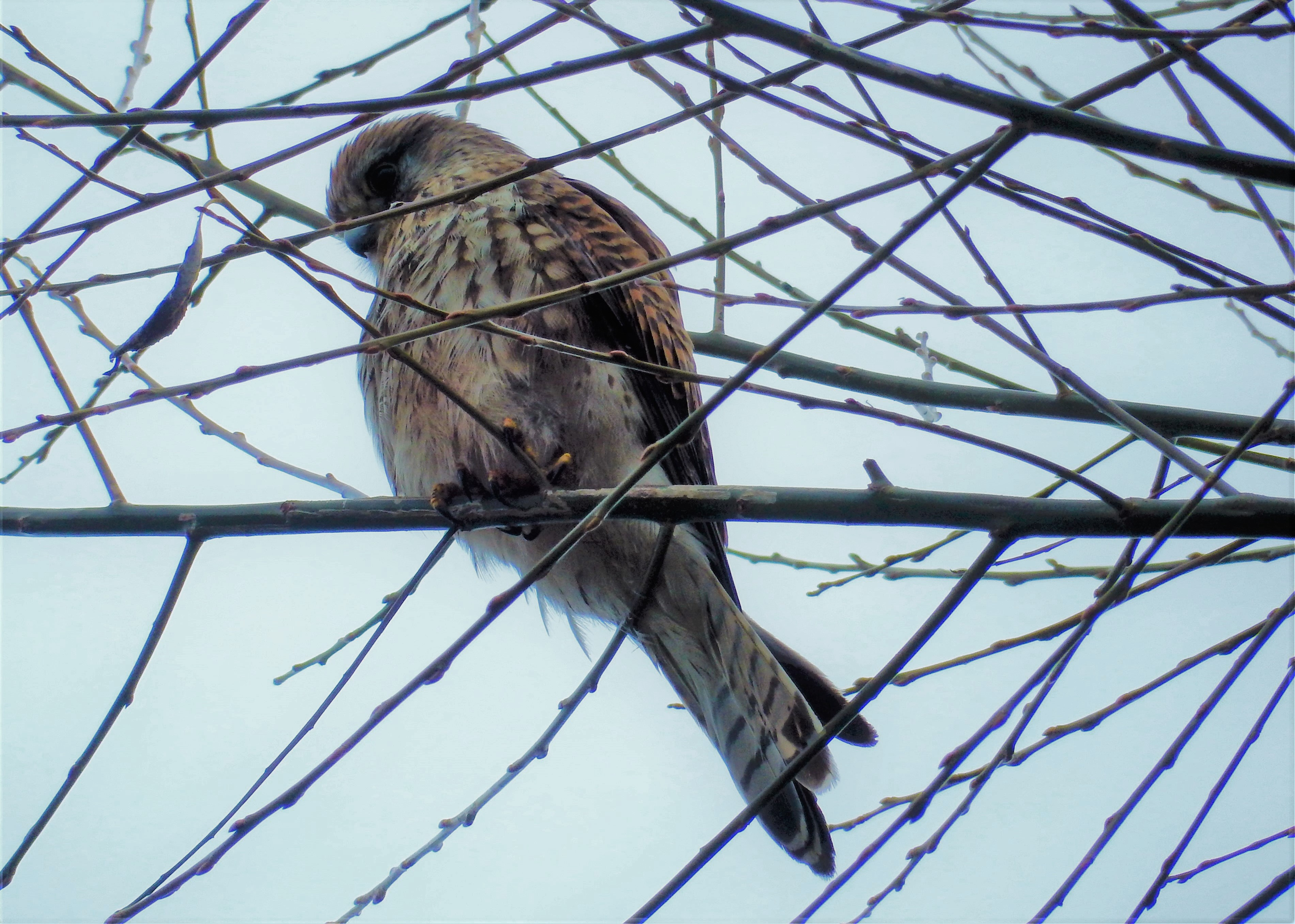Kestrel perched in a tree amidst spindly branches.