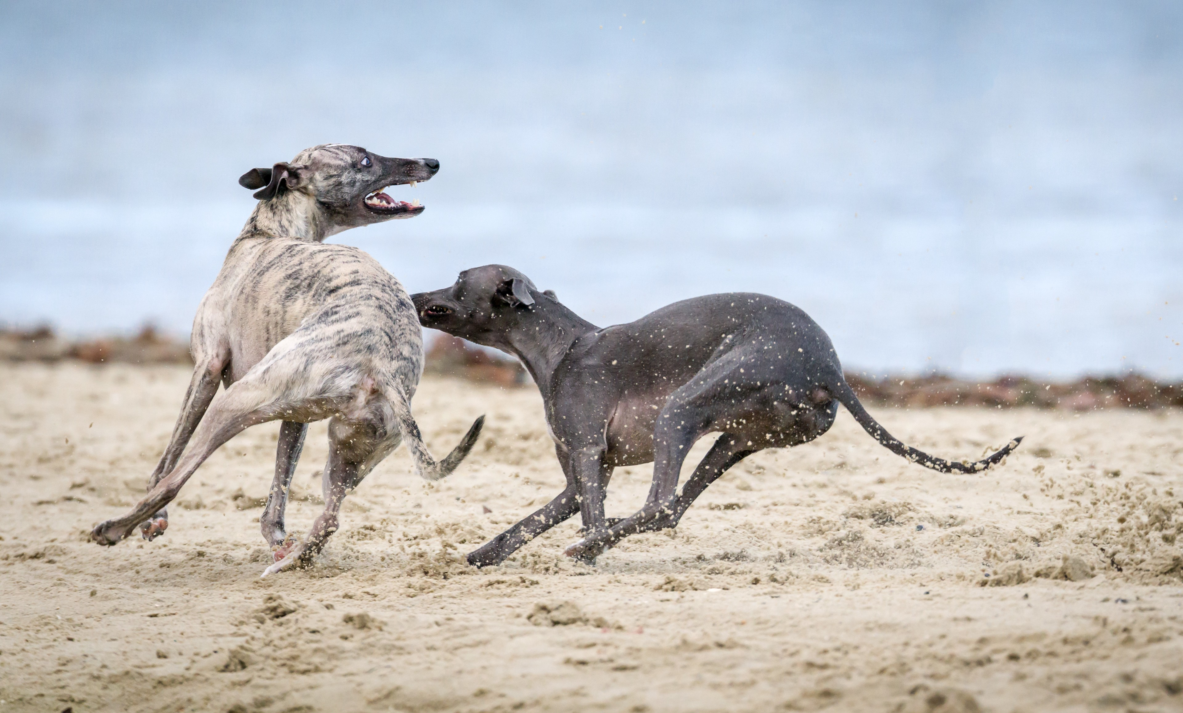 image of two greyhounds chasing on the beech for article by Larry G. Maguire
