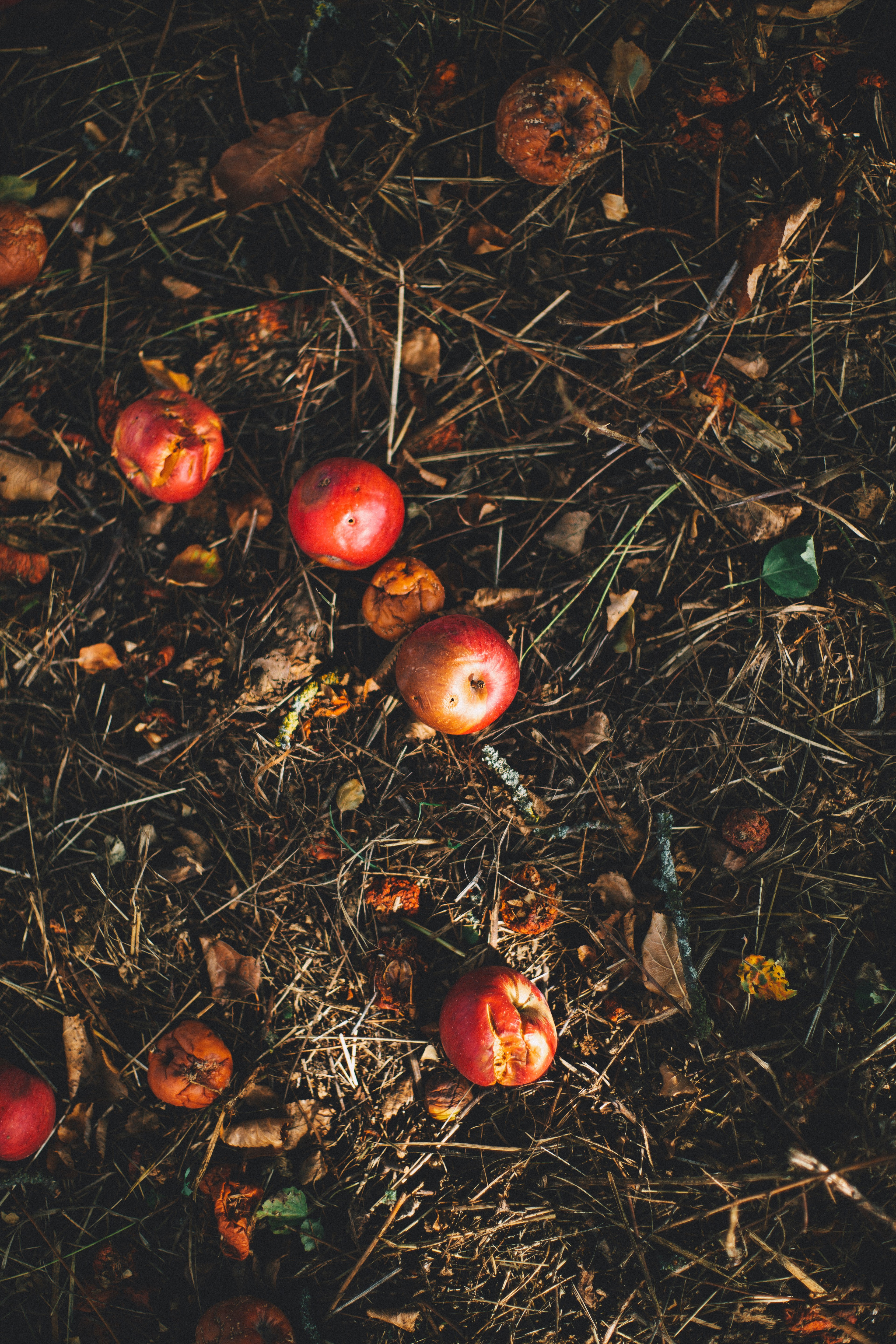 Rotting red apples sitting on top of hay and dirt.