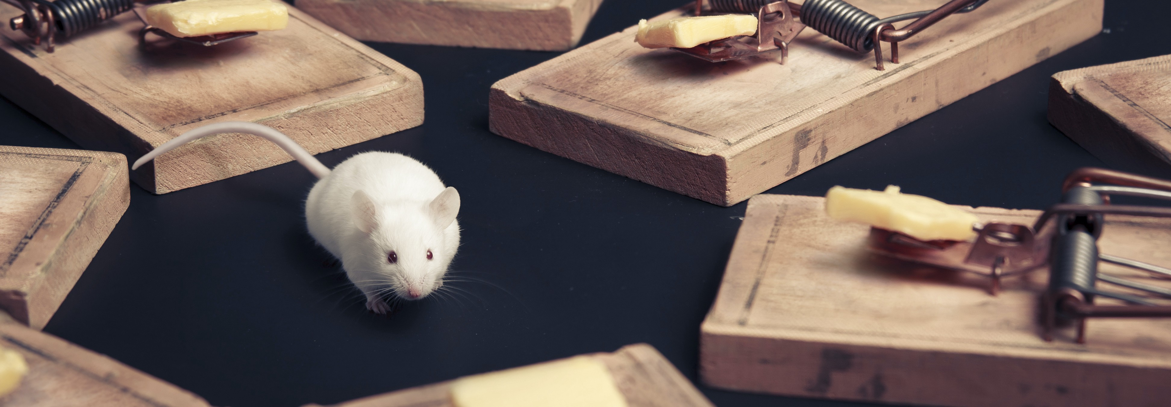 Picture of a mouse looking for an escape route in several traps.