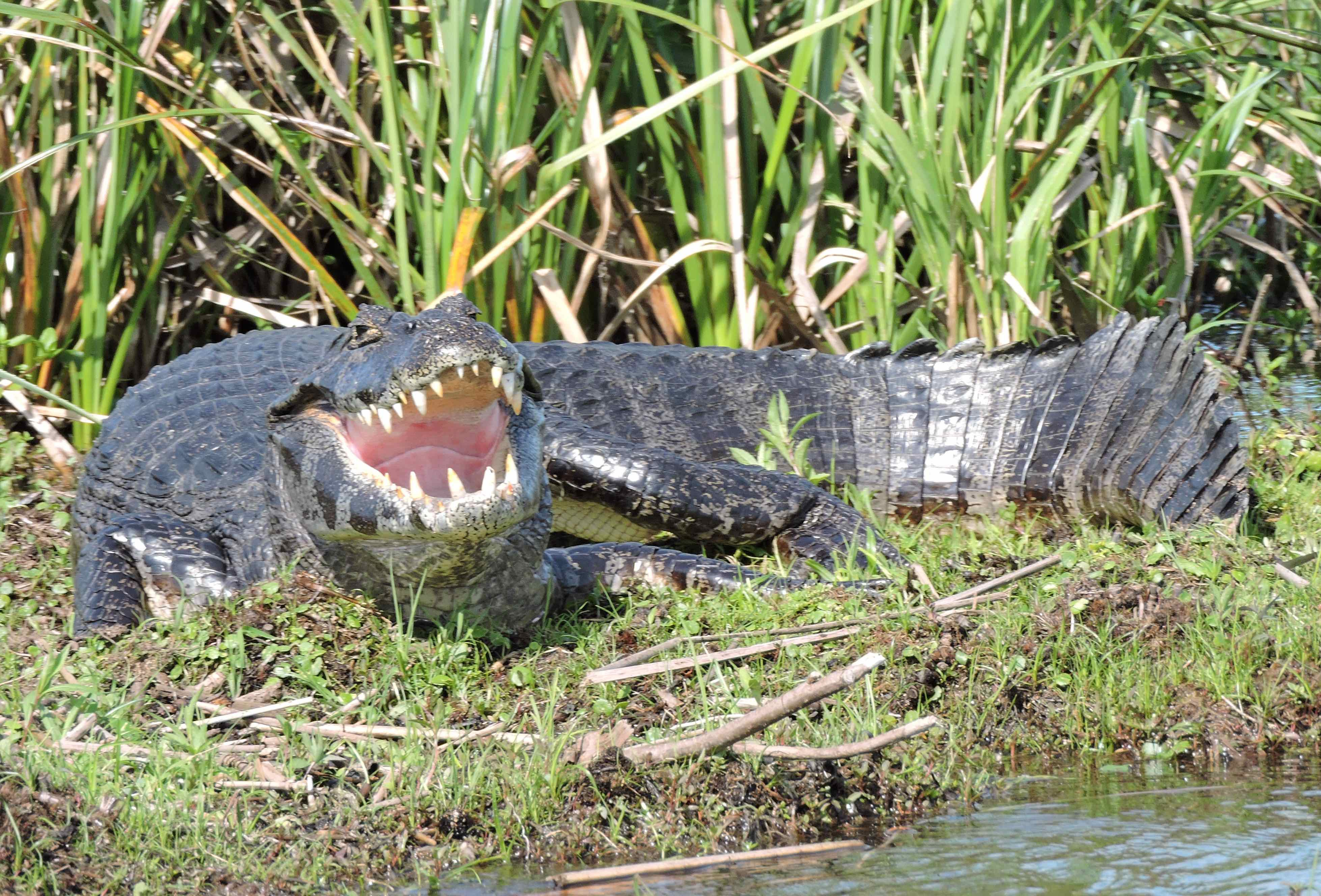 Picture of a Black Caiman Alligator in the jungle