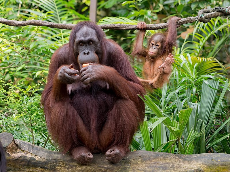 The coded message sent by orangutan mums' noisy scratching