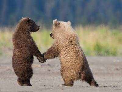 Two bears in the wild, standing on their feet and holding hands