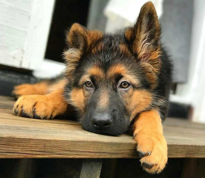 Feeding A German Shepherd Puppy Dog