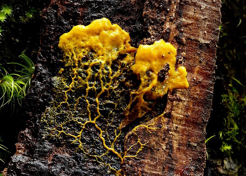 Philosophers Meet Animals: the Slime Mold | by Gunnar De Winter | Science and Philosophy | Aug, 2020 | Medium