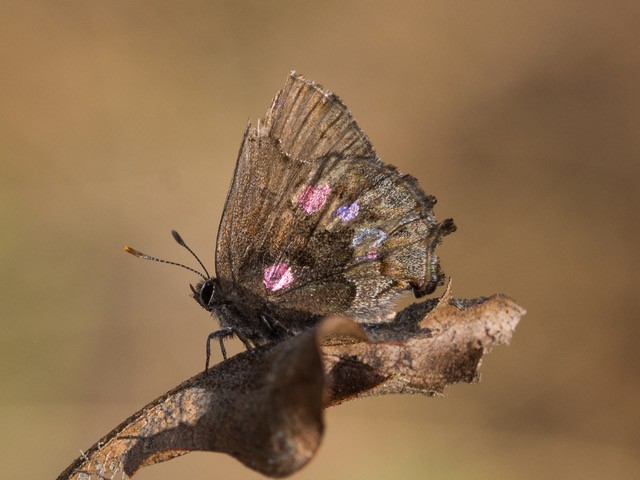 A brown butterfly with colored spots on its wings