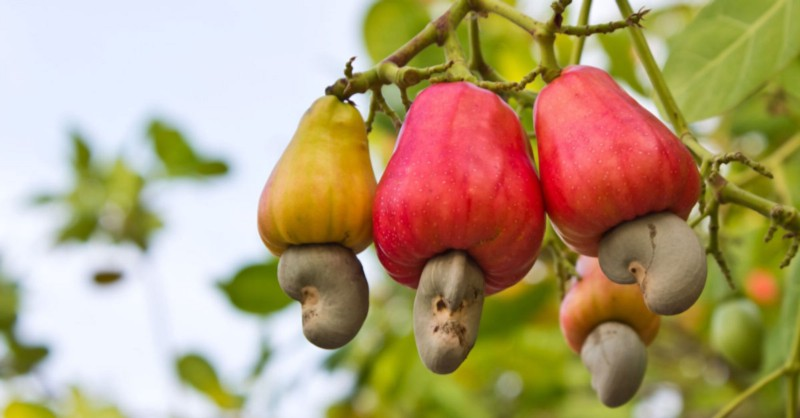 Image result for CASHEW IN NIGERIA