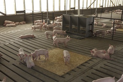 Image of small pigs in confined operation by United Soybean Board.
