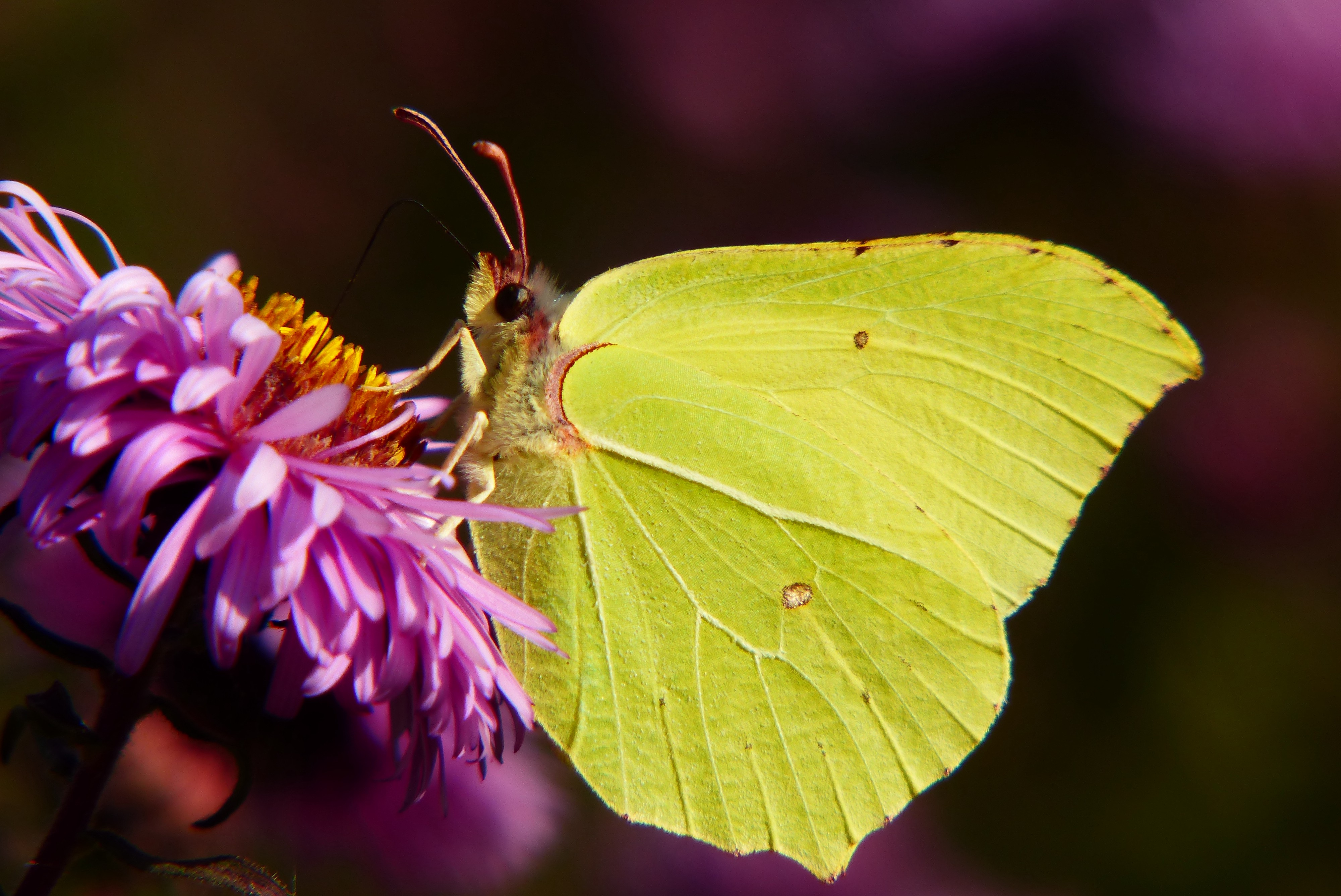 A yellow butterfly sitting on a flower.