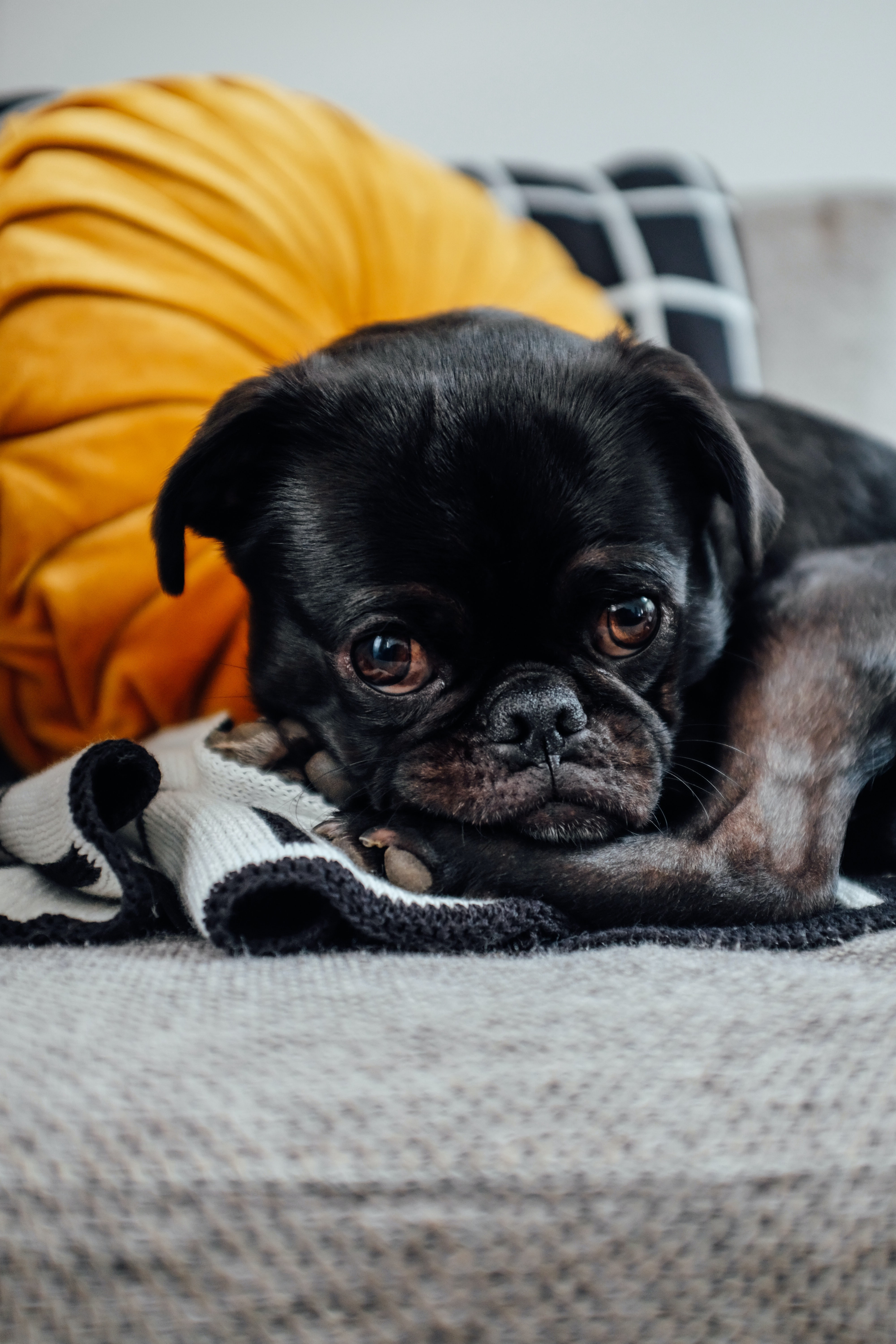 Cute black puppy lying down and mournfully waiting