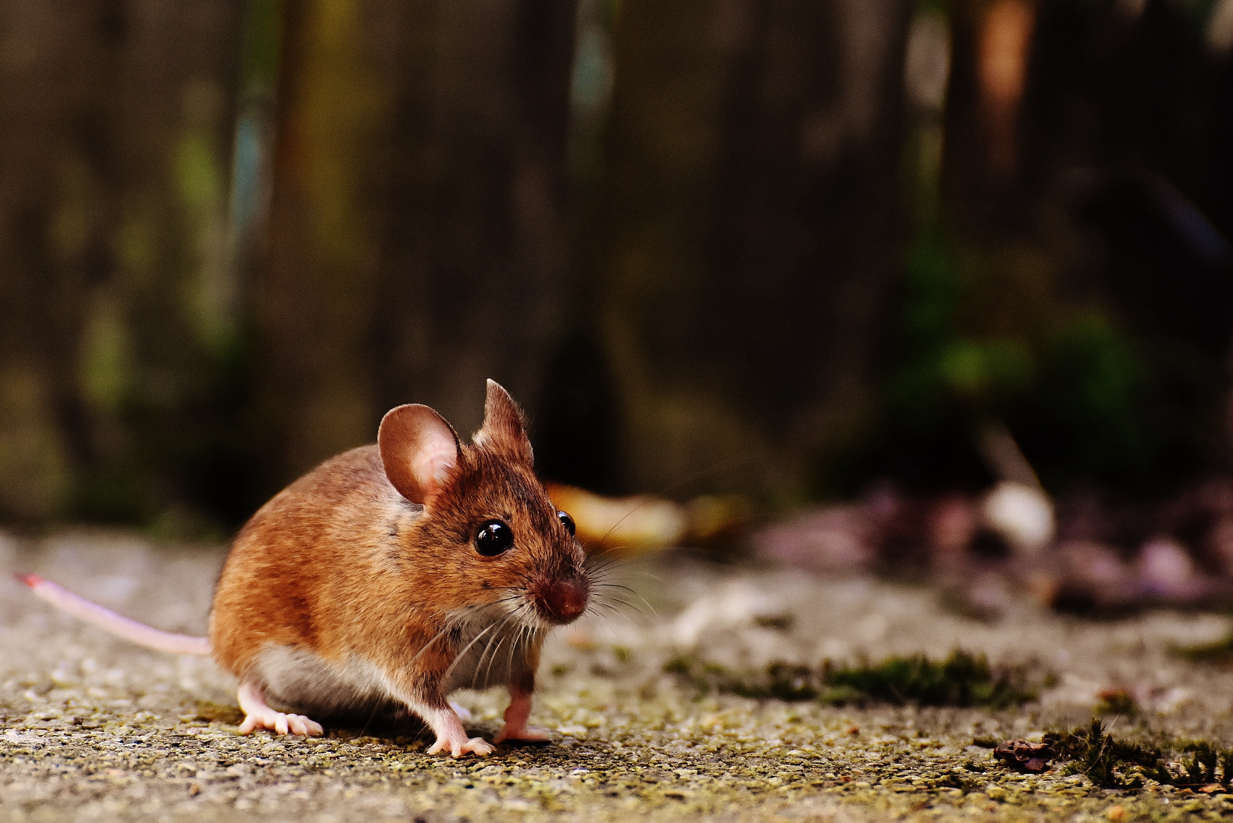 a mouse on a forest floor looking alert and ready to move