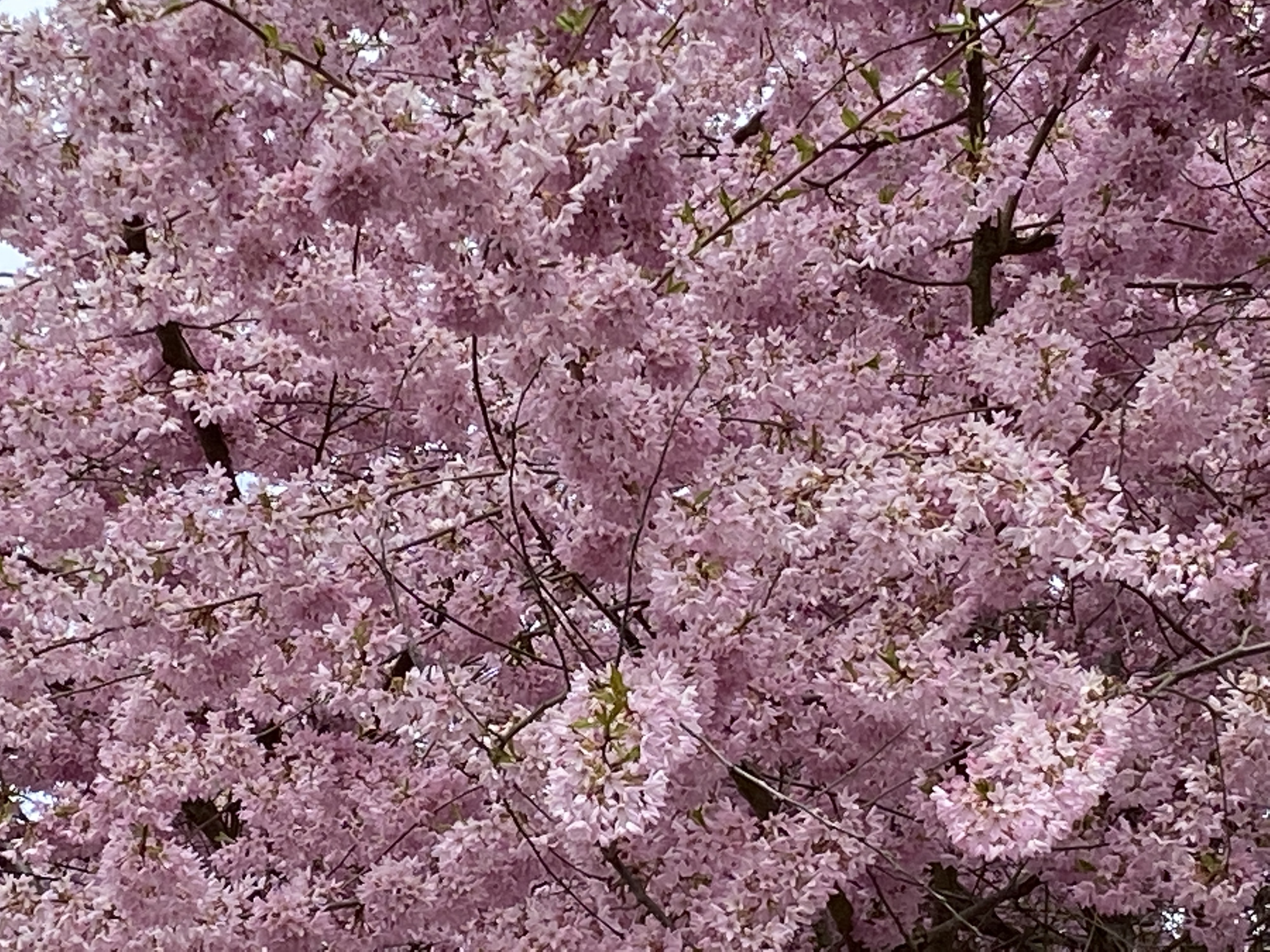 pink blossoms of a cherry tree