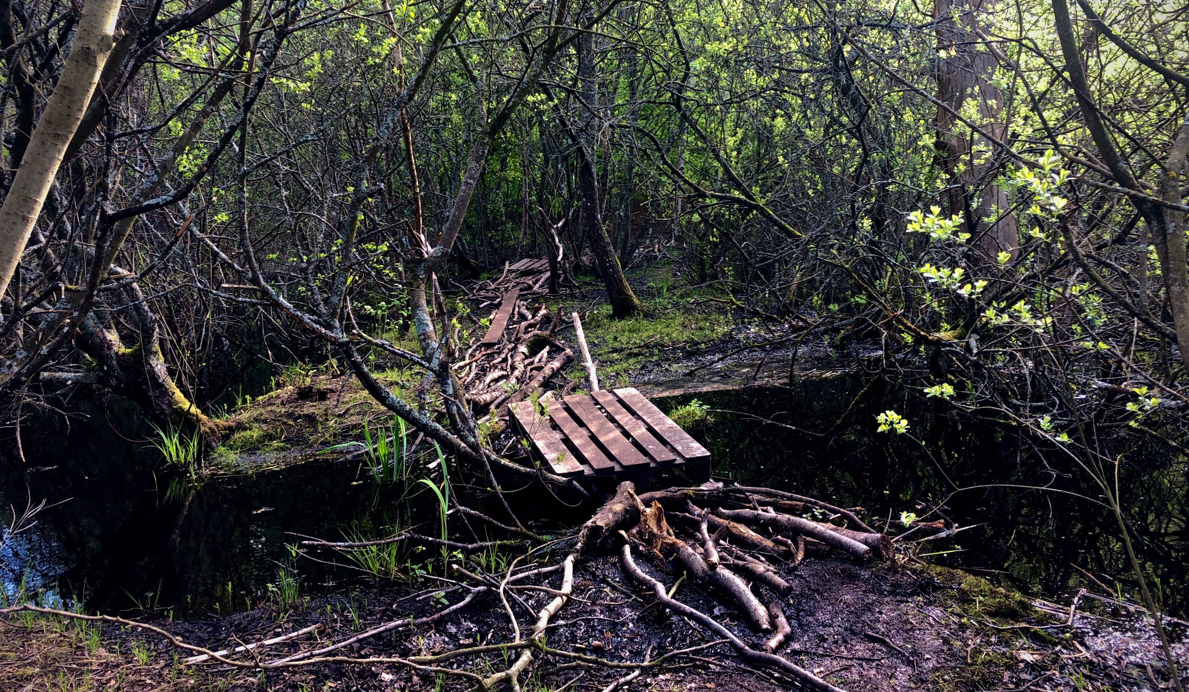Bridge in a forest over a tiny river. The bridge is build from stacked branches and looks unsafe.