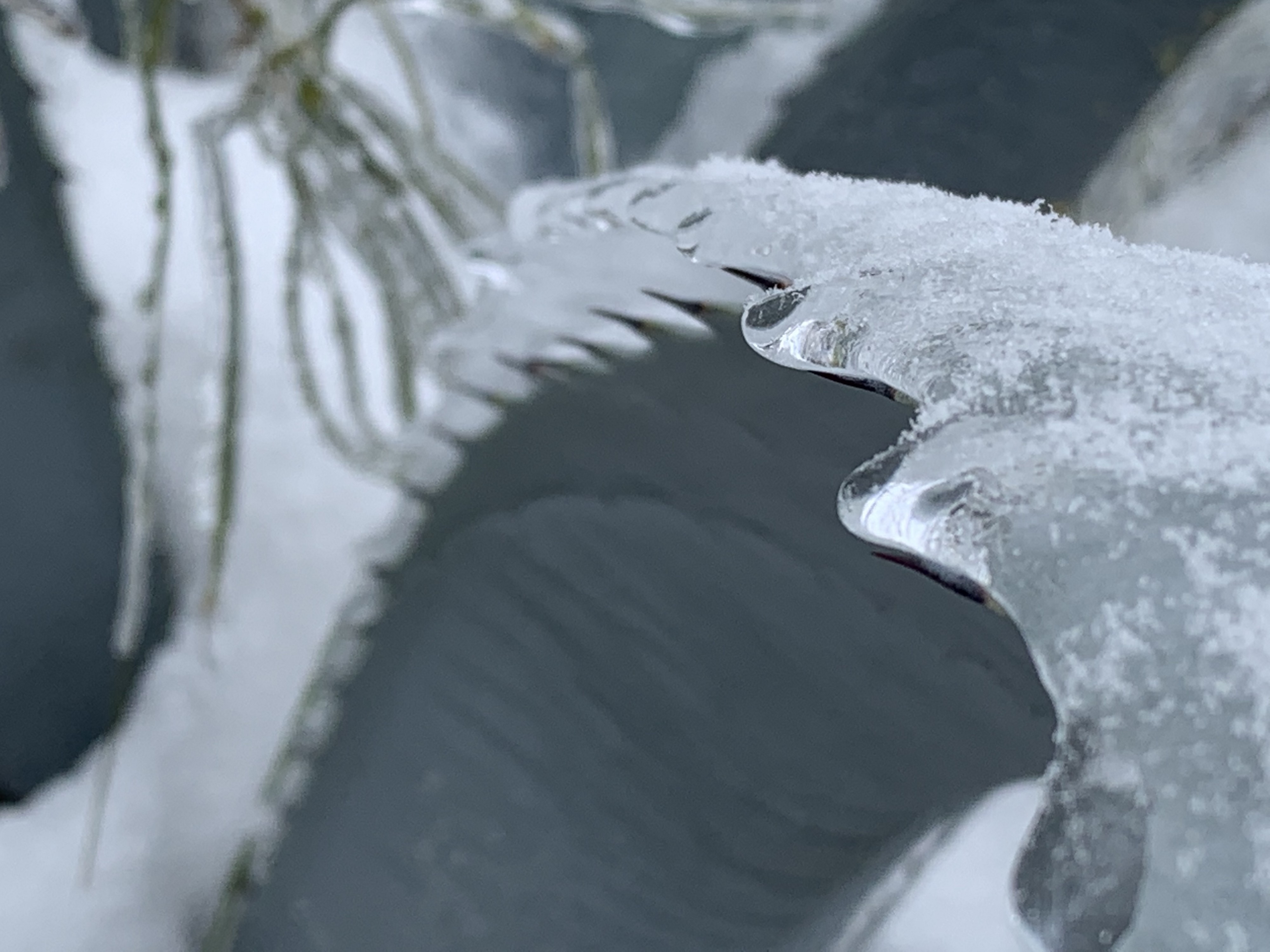 A prickly agave cactus leaf covered with ice and snow.