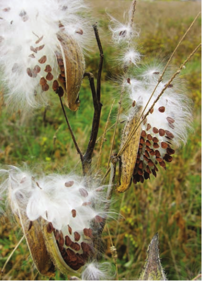 """Milkweed seed pods opening in October near Ithaca, New York. The seeds and seed hairs, technically referred to as """"coma"""" curr"""