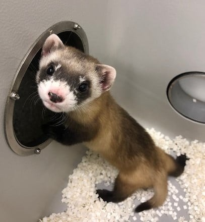 A black-footed ferret leaning against a wall inside an enclosure