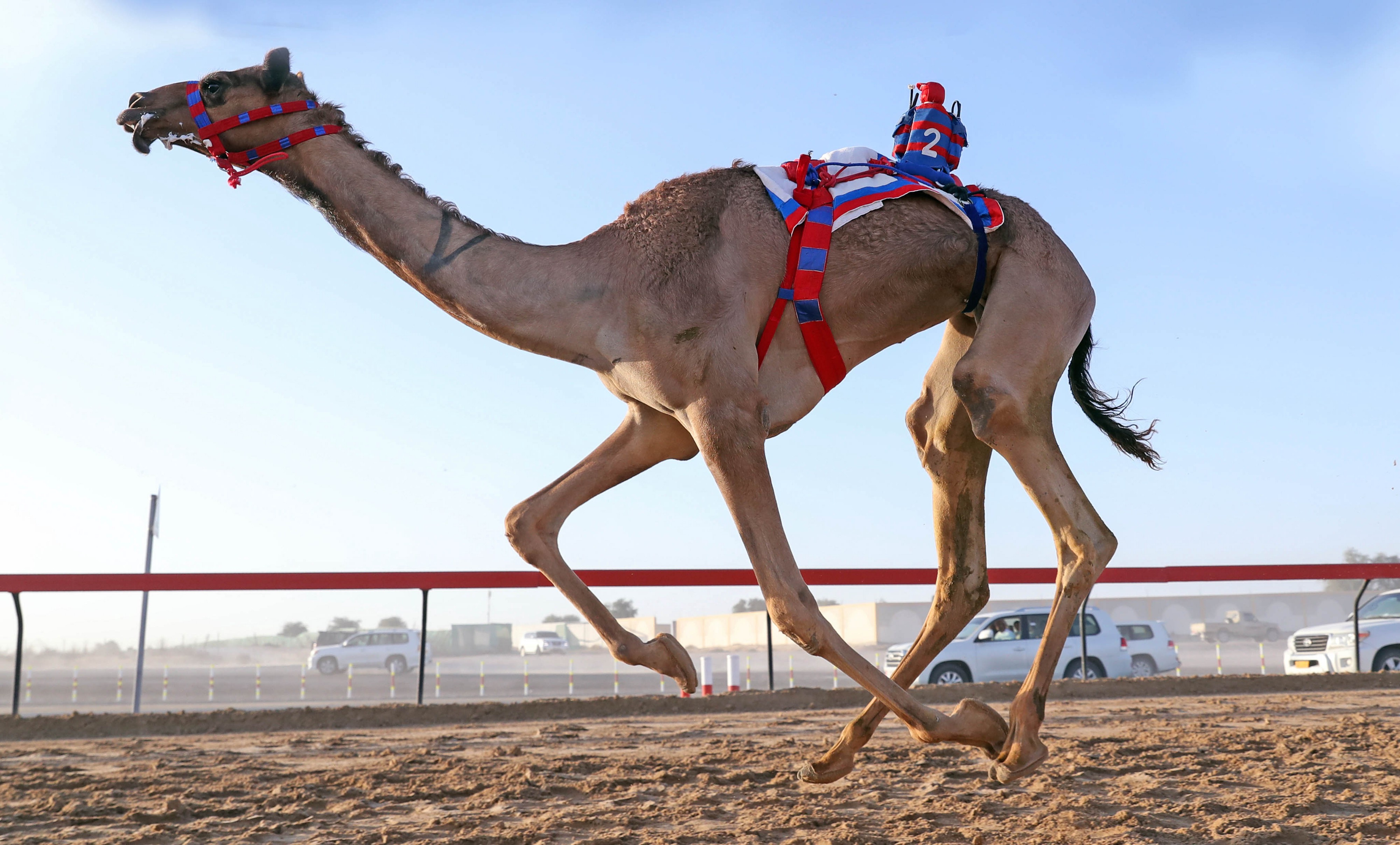 Camel racing dubai betting line mark wahlberg bets on manny pacquiao