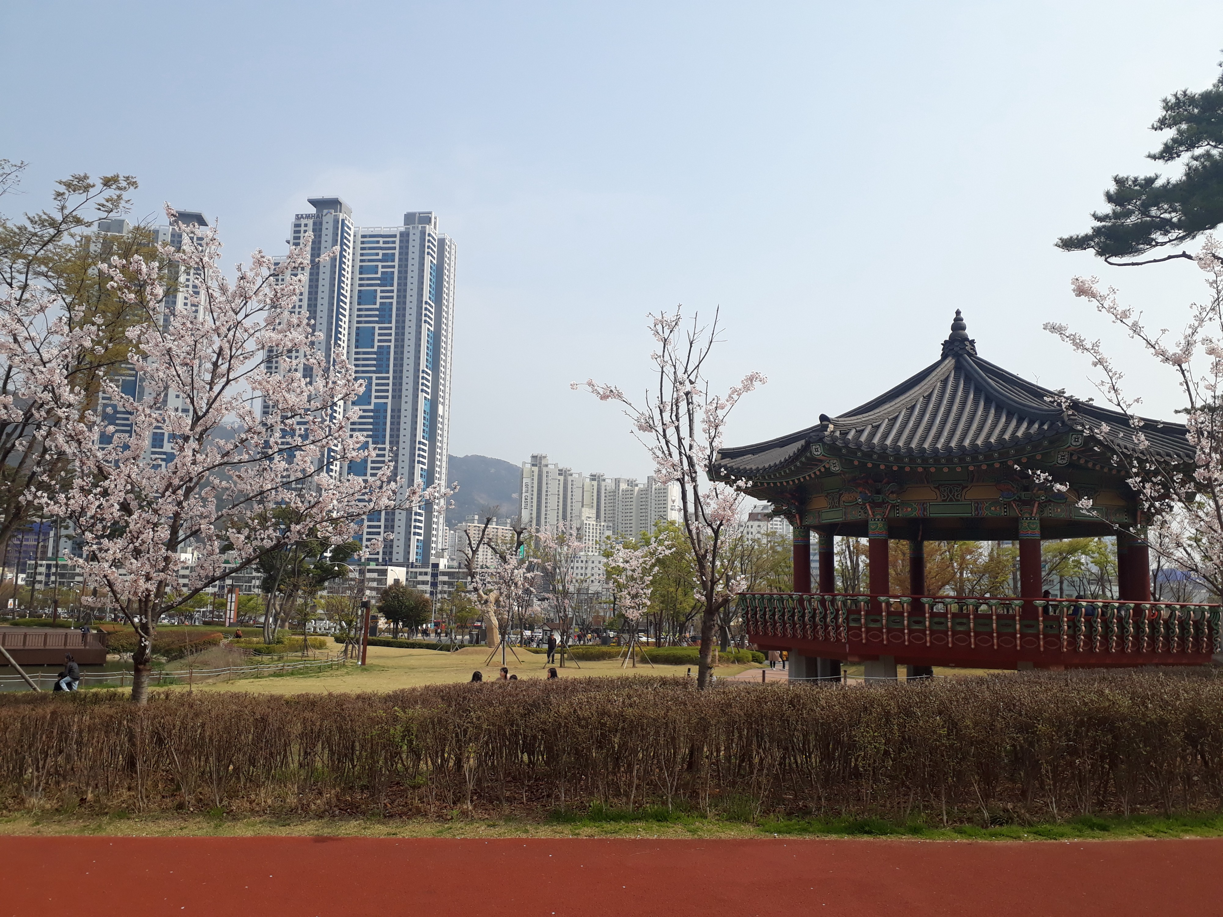 Cherry trees bloom in front of a pagoda. Tall apartment buildings can be seen in the distance.