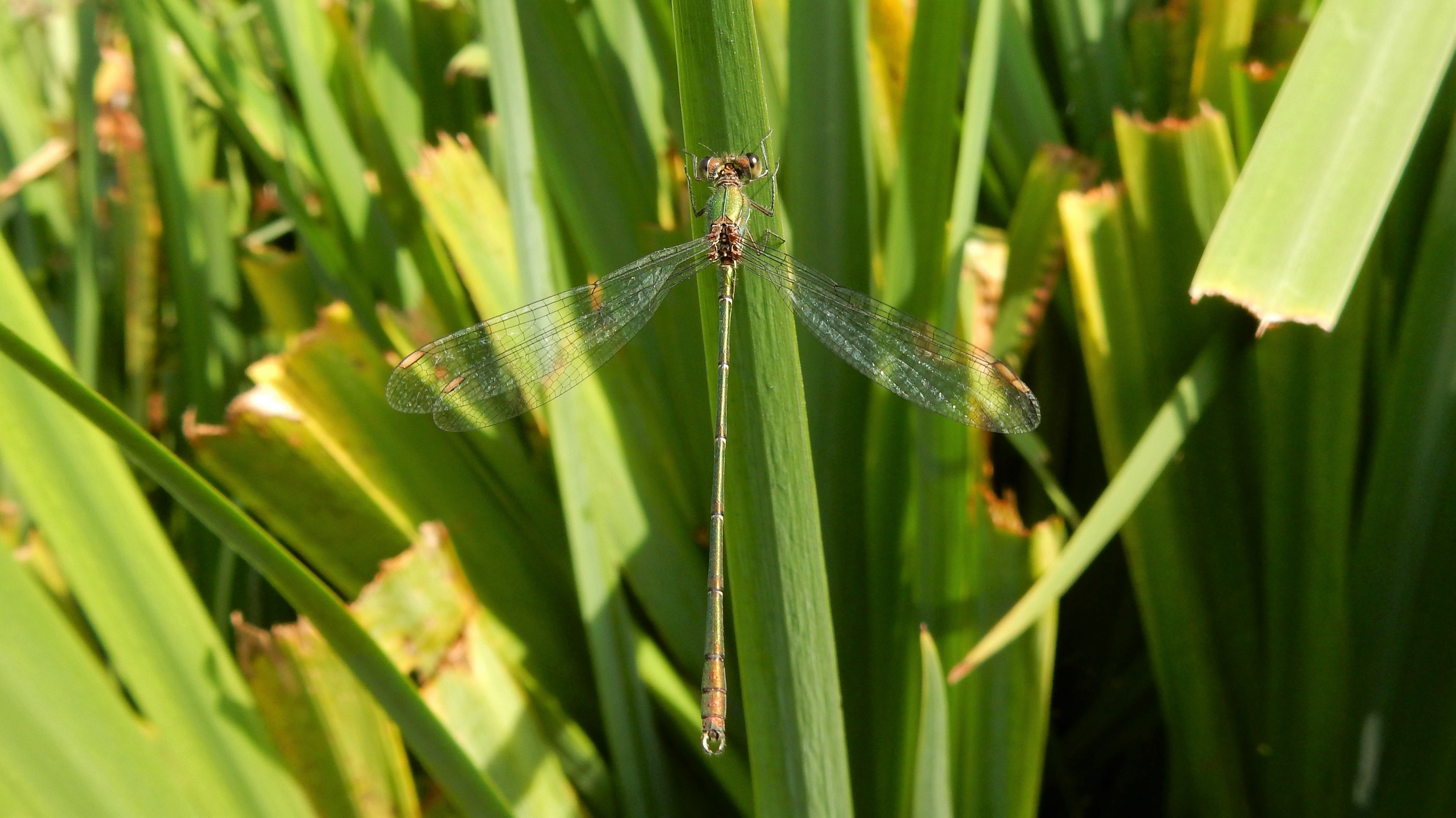 A female banded demoiselle damselfly is thin and green.