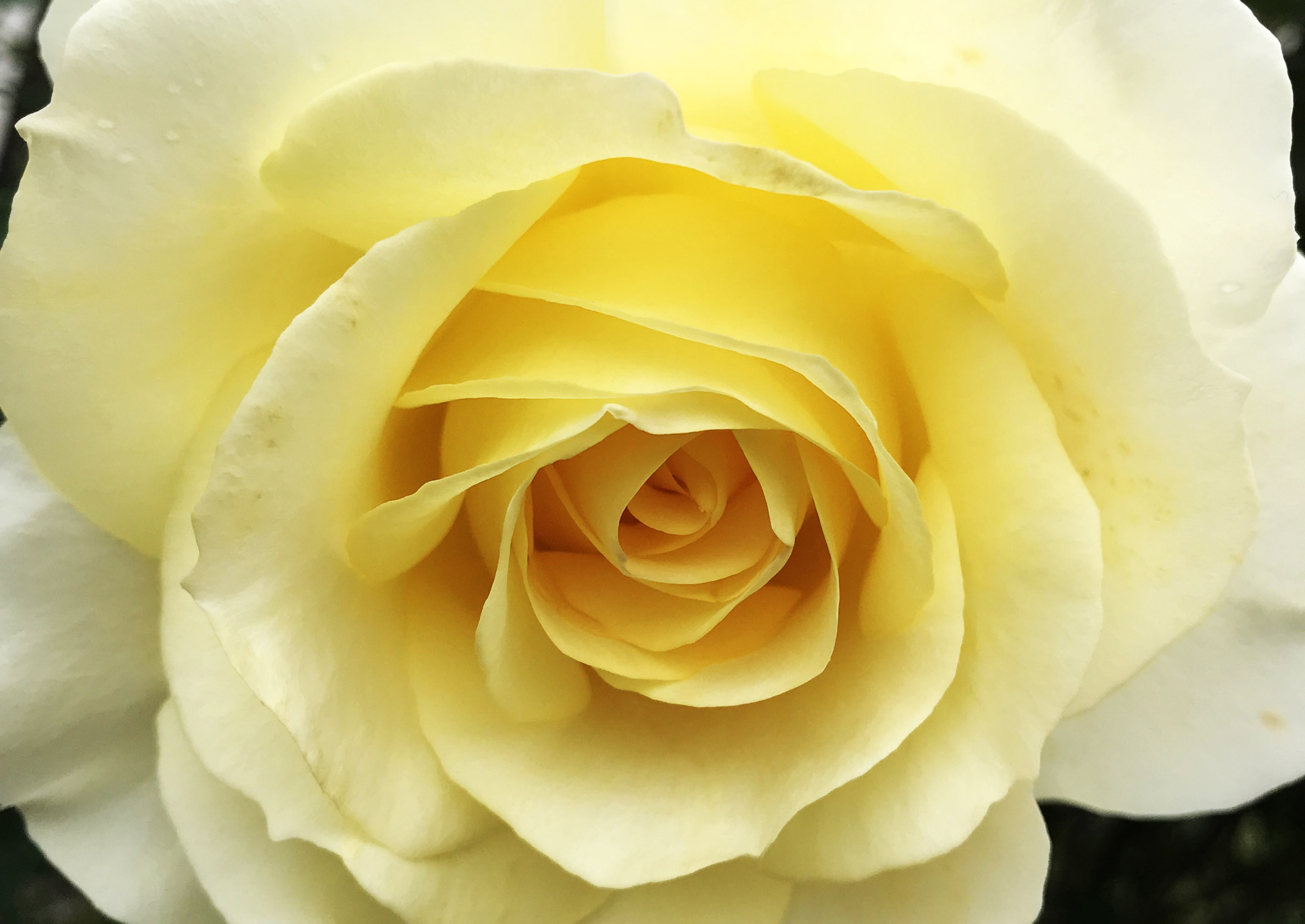 photo of a yellow rose