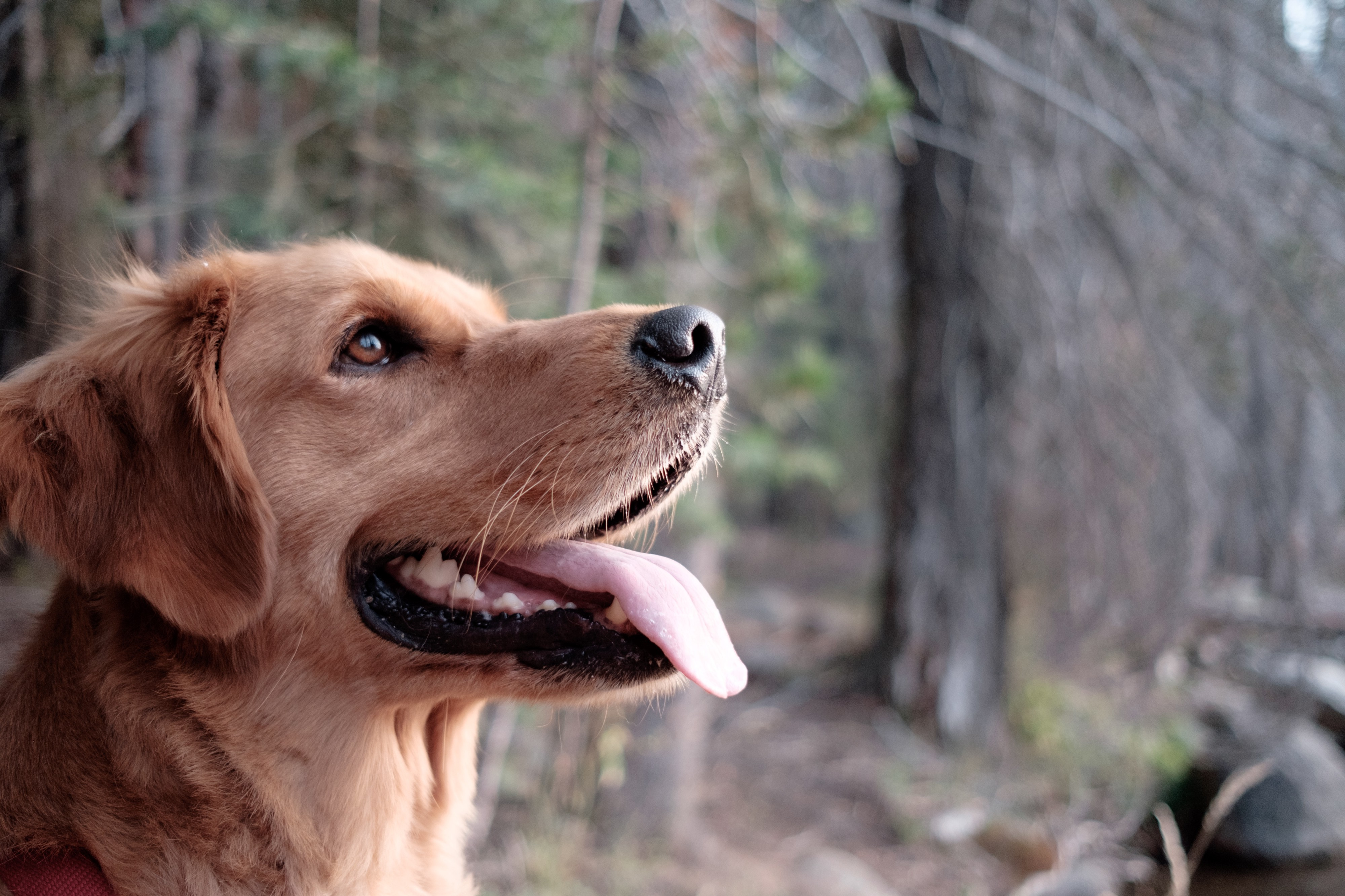 side view of golden retriever dog panting with forest in the background