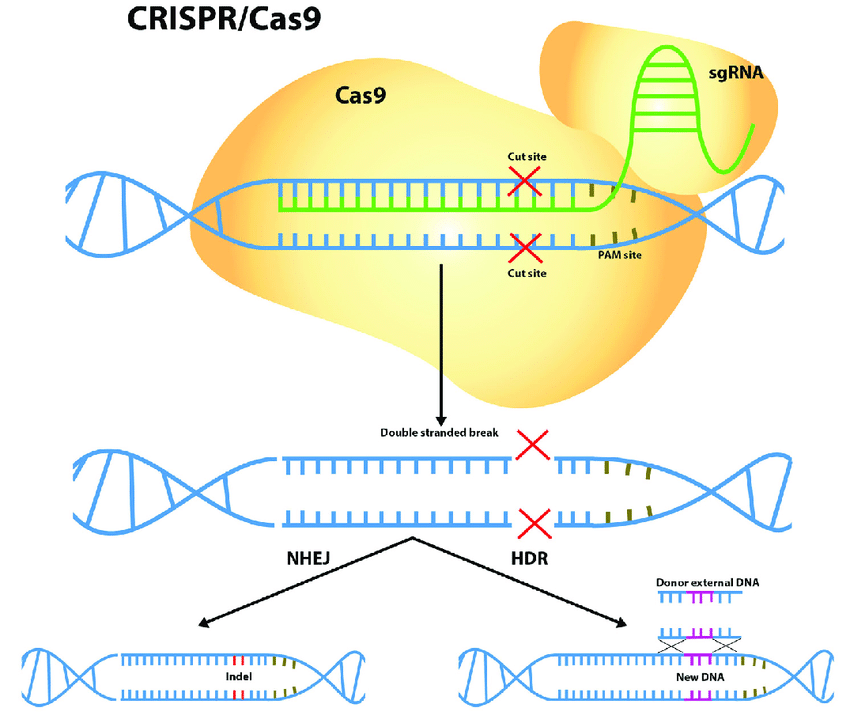 Application Of Crispr Cas9 In Agriculture