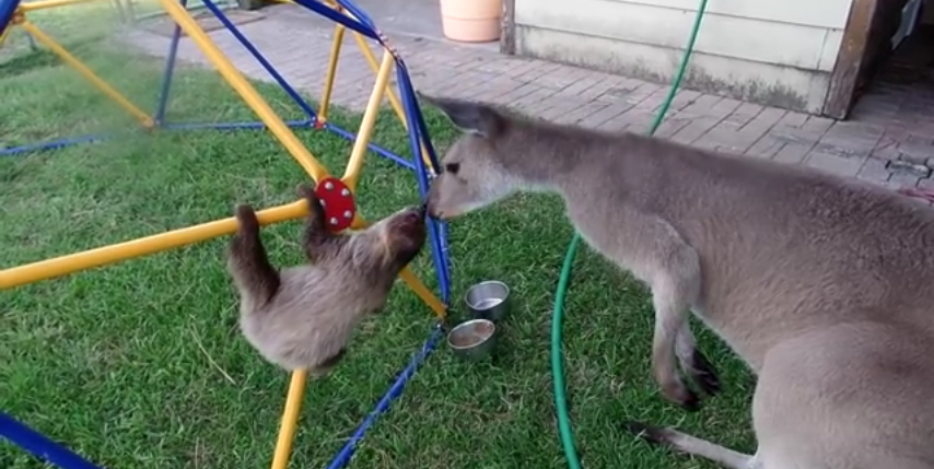 Moments in Sloth and Kangaroo Video, Ranked