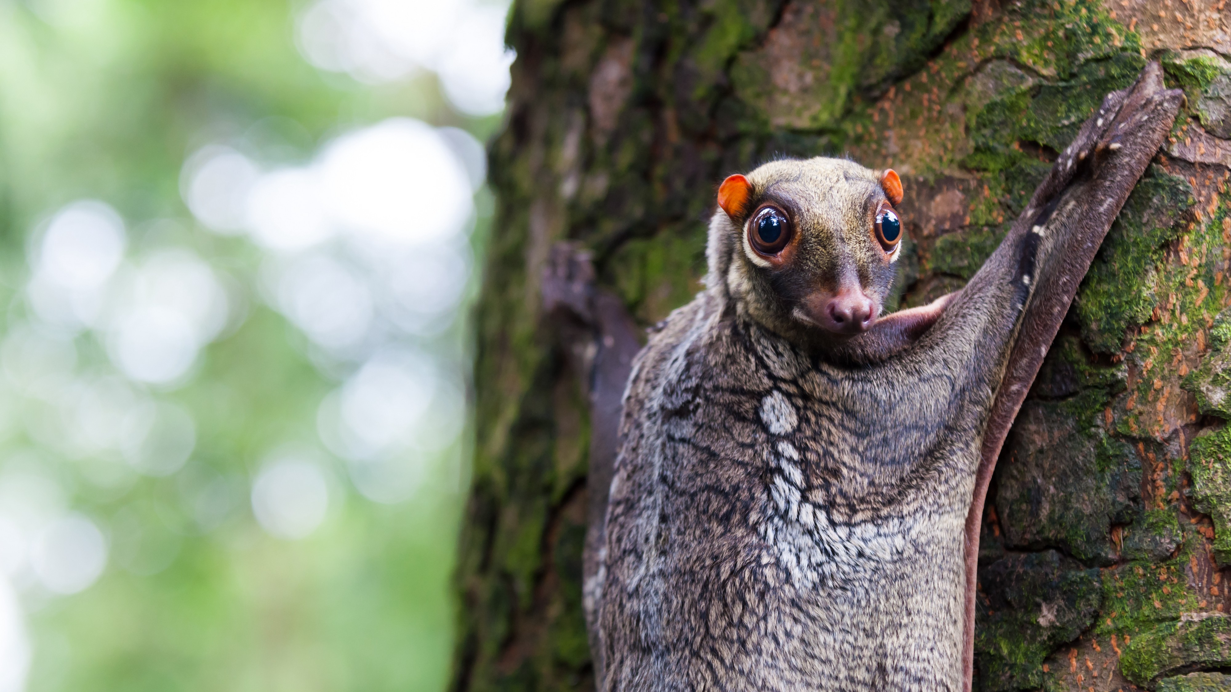 a creature that looks like a flying squirrel or bat, with very large round eyes