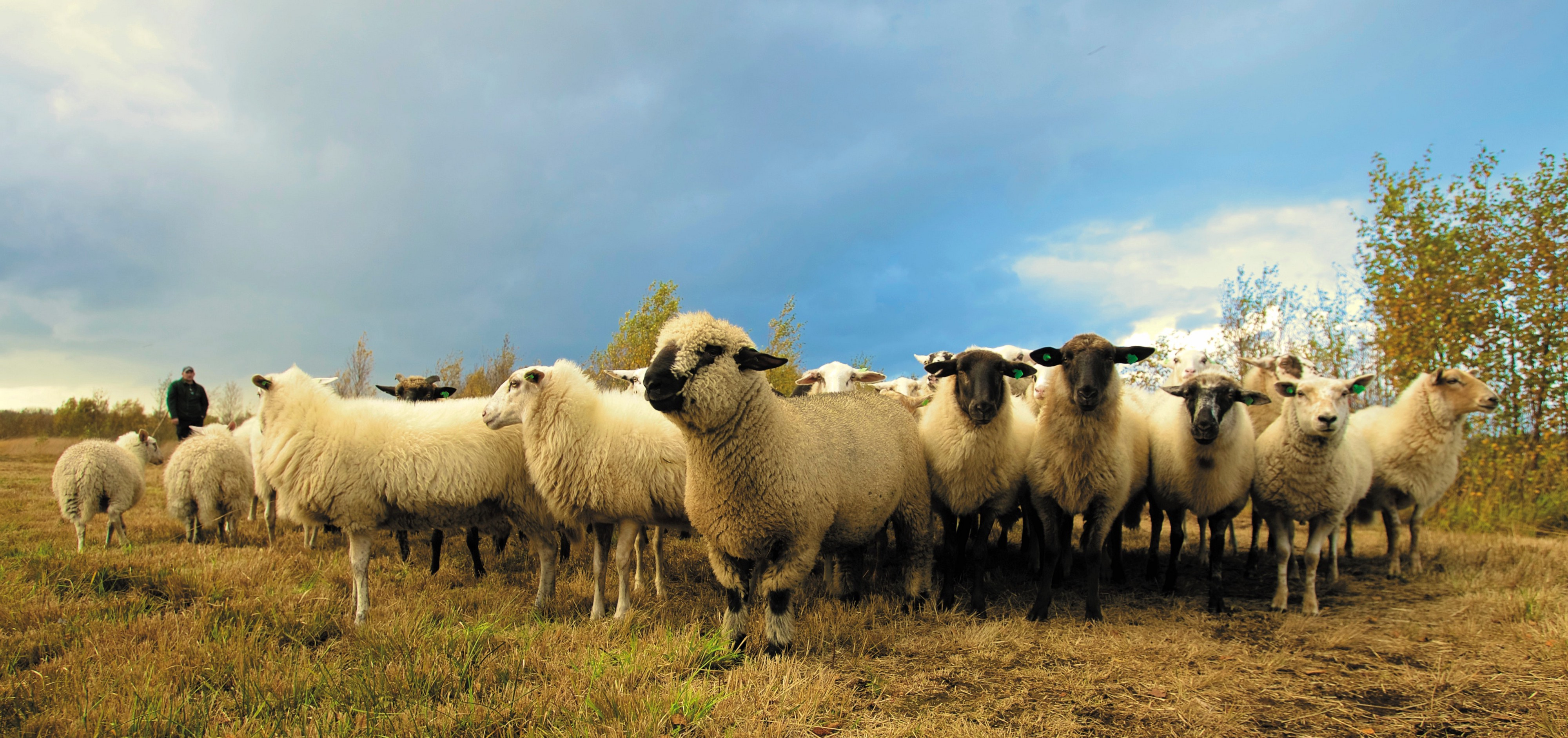 A herd of sheep in a paddock