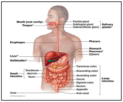 The gastrointestinal tract of a human individual.