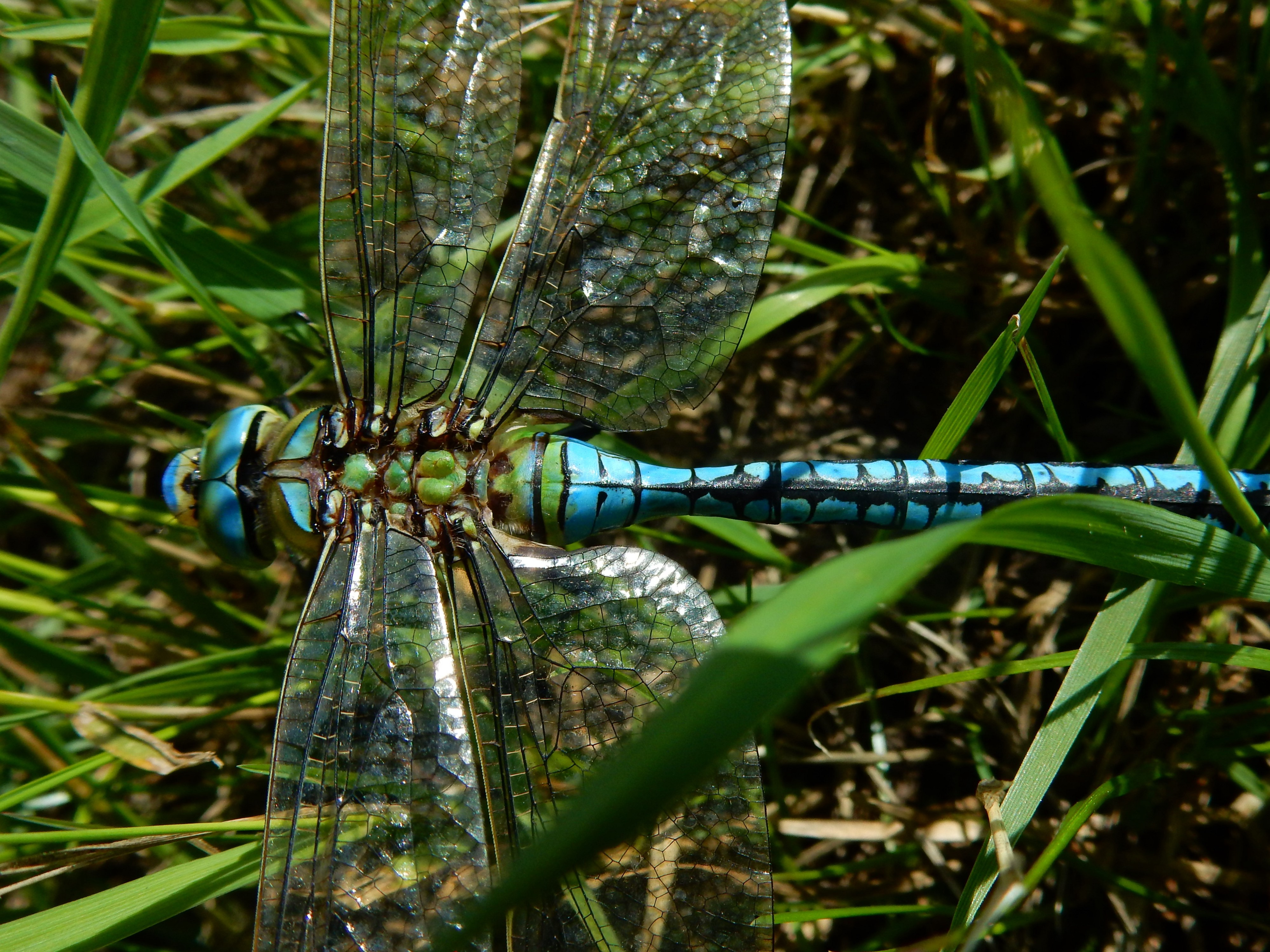 The male emperor dragonfly has a bright turquoise body with green back.