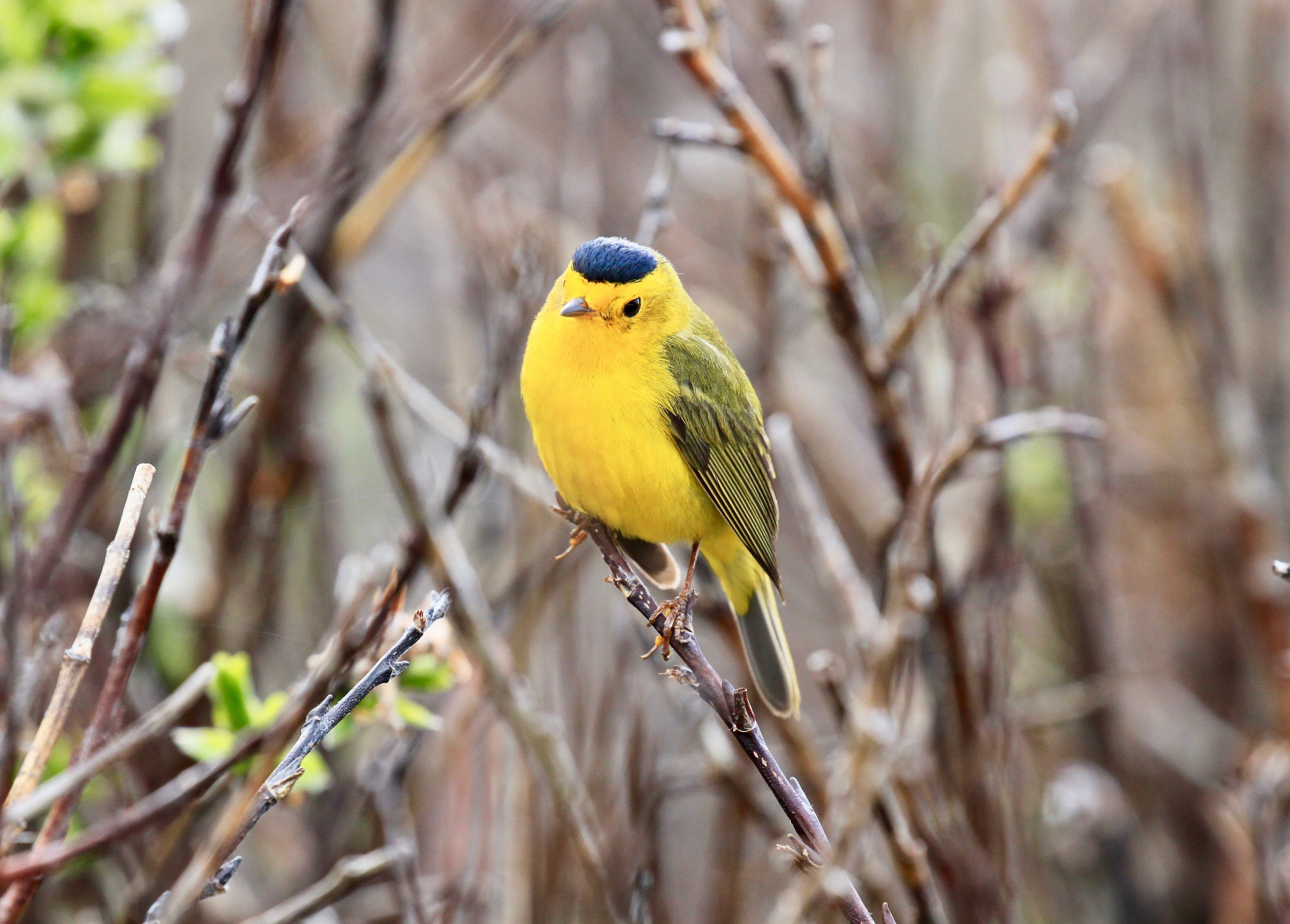male wilson's warbler with a bright black cap and yellow body