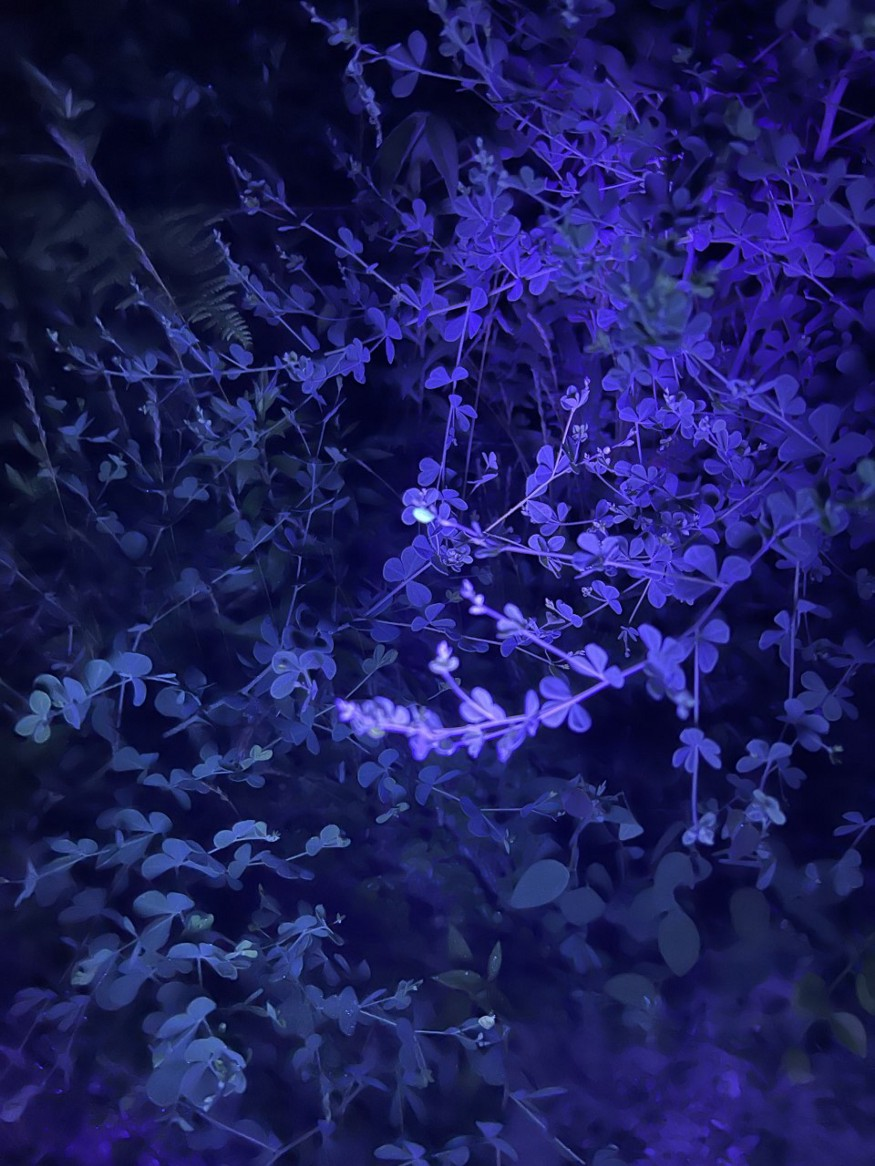The leaves on a bush appears purple under blacklight