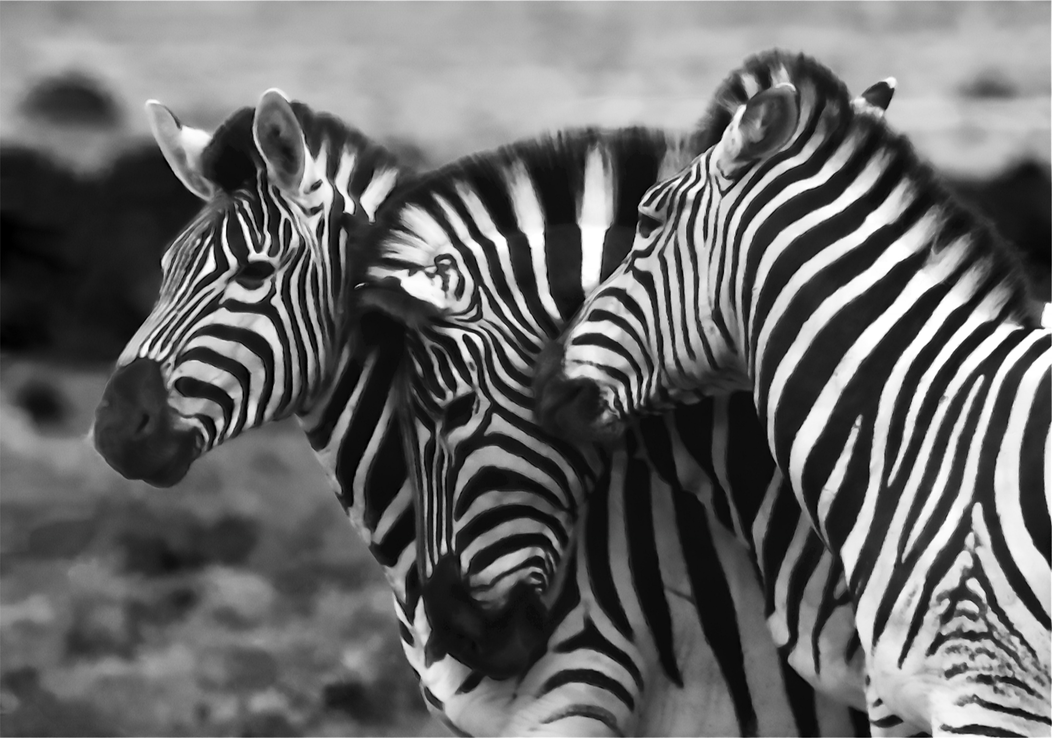 zebras standing together and conforming to protect from predators
