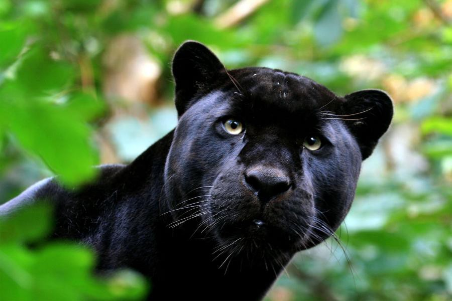 Love Panther