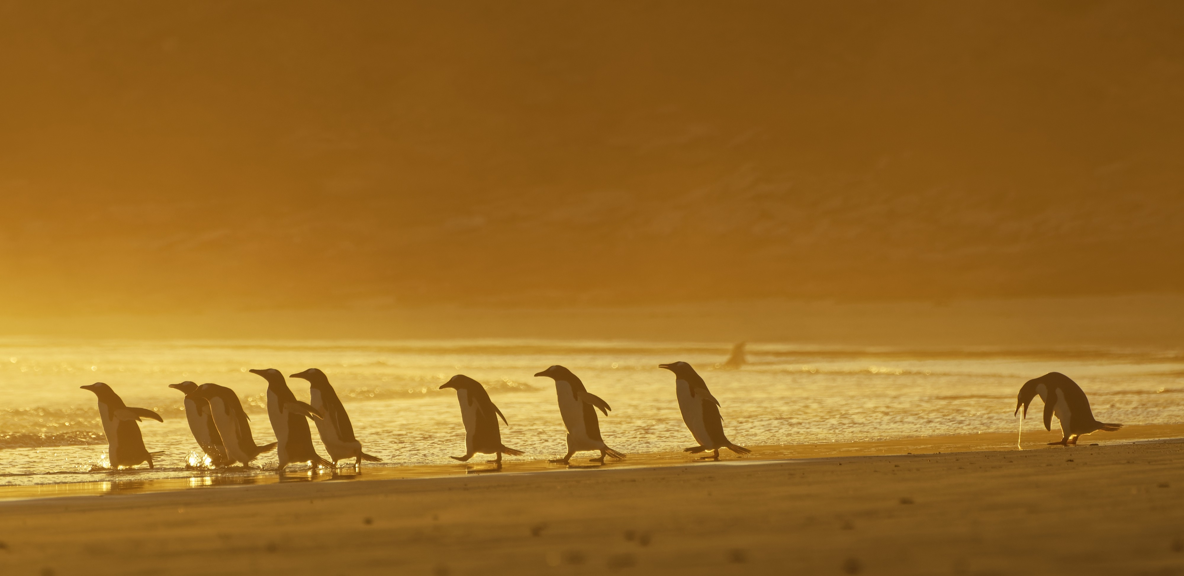A trail of penguins walk along the beach, but one in the back appears to be regurgitating