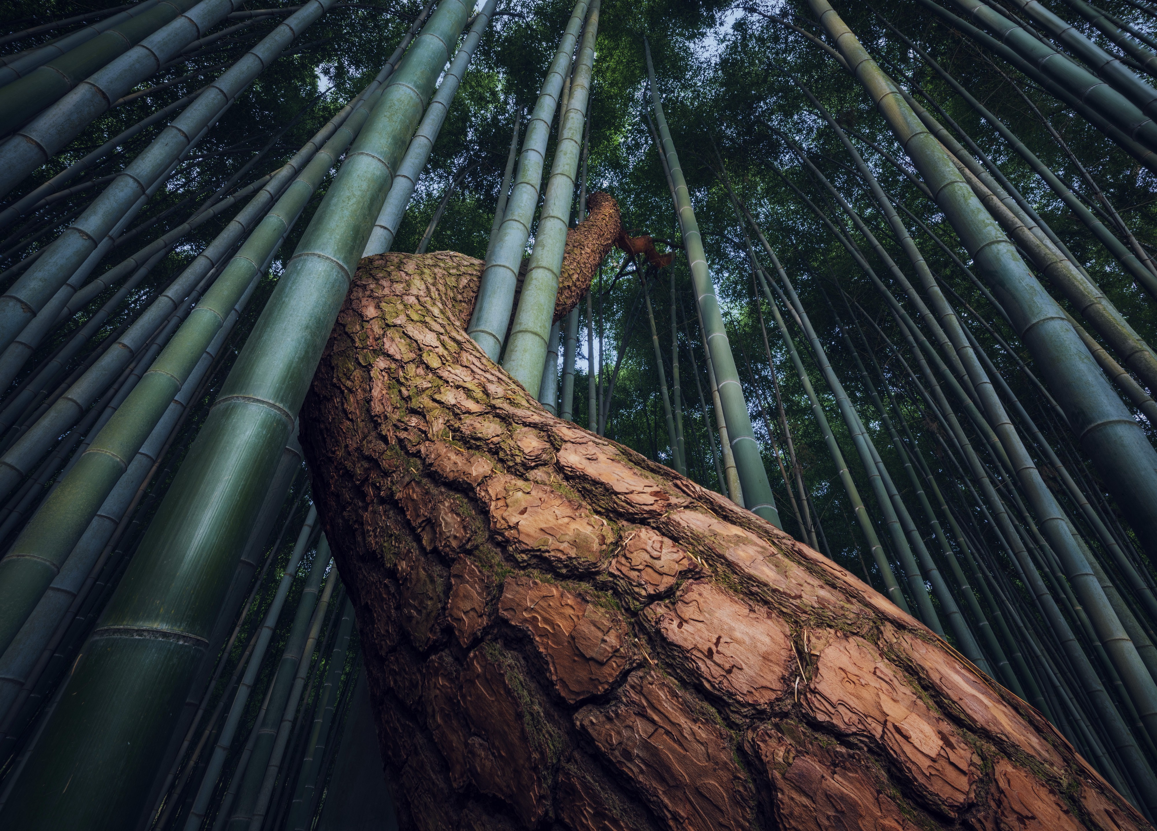A brown barked tree snakes up through very tall bamboo, wrapping its trunk around the bamboo stalks in an embrace