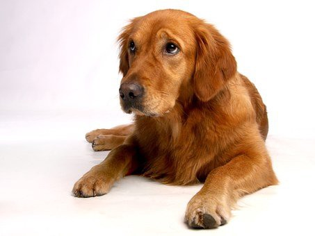 Golden Retrievers are the most popular dogs in the US