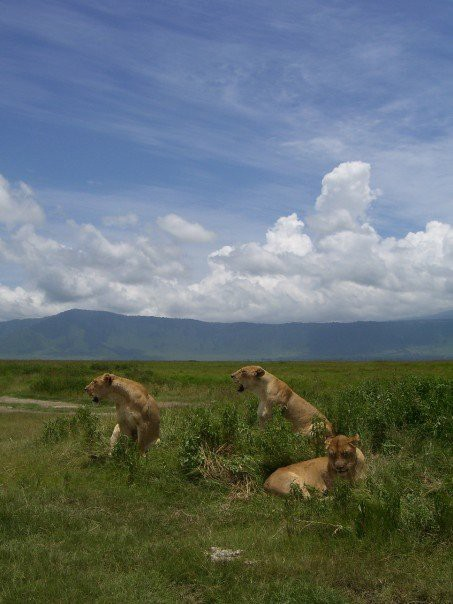 A pride of lions on the Serengeti